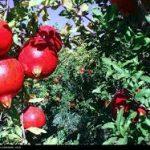 بازار تولید انار