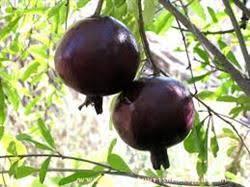 تولید انار سیاه