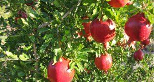 صادرات انار ایرانی