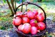 قیمت انار تازه